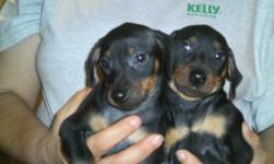 I have 2 pups left 1/male and 1/female left had 2 sets of shots for more info call 317-627-7184
