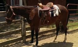 Very nice registered AQHA filly. Both Sire and Dam are on site. Dam has champion pedigree in Western Pleasure, Halter, & Trail. Sire is 87% foundation with working cow horse bloodlines. Very smart girl. Foaled April 2012. Knows basics of roundpen work &