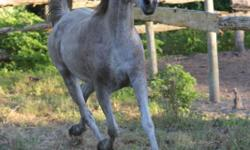 I am relocating and regretfully selling my trail-mate. Raz is a 14 year old Registered Gray Arabian gelding who does it all. Great trail and endurance horse for experienced, confident rider, no vises, buck or rear. He moves off of leg pressure nicely and