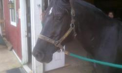 """We are looking for a caring, responsible rider for our handsome registered black Arabian, """"Pharoah"""". Pharoah is a 20 year young gelding with a beautiful full black mane and gentle personality. He is laid back and very easy going. He is comfortable under a"""