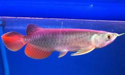Scleropages formosus Red Tail Golden Mahato 5.4 - 6.7in text me on (917) 960-8932 for more