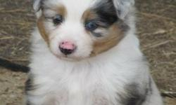 Beautiful ASDR blue merle toy aussie male. This gorgeous guy has excellent markings, a lot of copper, and 1bright blue eye. He has the very best personality of the entire litter and I can not say enough good things him.