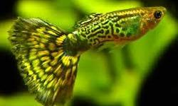 I am an avid fish breeder, and currently have several assorted guppies for sale at $1.00 a piece. These are very docile and peaceful fish great to add color to any aquarium. Text 1-385-333-9493 if interested