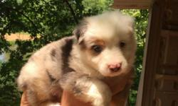 Full blooded australian shepherd pups ,2 blue merle females with blue eyes and 2 red tri females.family raised, parents on premises. Beautiful marking on all,400 for the tris and 425 for the merles