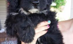 We have 10 standard aussiedoodle puppies ready to leave now. Please call for more information