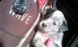 7 wk old purebred blue Australian cattle dog pup. Please call )-
