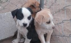 We have 4 Aussie puppies total. Mother is full breed Australian shepard. 1 blue merle male, $250 firm. 1 grey eye & 1 blue eye. Loves to cuddle. Puppies are 7/8 Aussie & 1/8 Border Collie. Father is half Australian shepard and half Border Collie. The