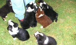 for sale ckc australian shepard puppys they have their first shots and been wormed several times ..their very healthy ..they are 7 weeks old and ready for their for ever home ..there is i female left and sever al males ..chocolate and white