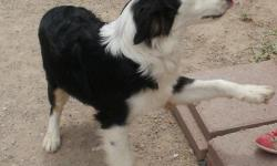 Miniature Aussie Shepherd, 8 month's old male, has all his shots. Good tempered, smart and friendly.