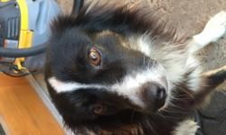 He (Mikey) is a 5 year old Australian Shepherd dog. He is very smart and gets along well with other dogs. He would make for a great companion for someone liking for a loving andeasygoing dog.