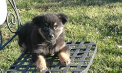 Great Christmas present. Farm raised, vaccinated, wormed, ready to go. Three black tri male puppies. APRI registry. The greatest disposition and very playful. Good for anyone. Medium sized when full grown. These are miniature. Delivery may be available.