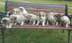 Aussie Pups Beautiful Blue Eyes Red Merles & Red Tri FullBlood-No Papers Out of Working Stock Tails Docked-DewClaws Removed-Wormed-1st Shots Please Call or Text For More Info
