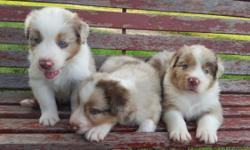 Aussie Pups Beautiful Blue Eyes 4 Red Merle Females 4 Red Merle Males 1 Red Tri Female 1 Red Tri Male Tails Docked-DewClaws Removed-Wormed-1st Shots