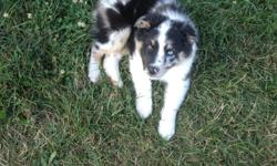One blue Merle male and one tri-color female. 8 weeks old and very loving. Pure bred, no papers. Text 989-295-1535