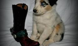 Registered Australian Shepherd puppies for sale.  Sire isa black tri with a full white collar. He is AKC/ASDR registered and pictured here.  Mom is a blue bi with two crystal clear eyes. She is ASCA/ASDR registered.  Puppy's are red