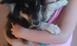 Australian Shepherd Puppies One Black tricolor puppy. Boy Super sweet puppies ready to go home. Raised in our home. Doggie door access to go outside. There are adults, children, cats and other dogs in the home with them. The puppies have been raised