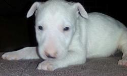 Awesome Bull Terrier, male and females bull terrier puppies. AKC registration with full breeding rights. Great build with awesome head shape.! Will make great dog for anyone who wants to show bull terriers or just a great family pet. Will come with first