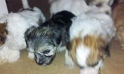 Akc Yorkie puppies ready now. Text for more details These tiny teacup Yorkie are as precious as could be! They are playful and curious and will make wonderful little additions to your family. They only weigh about 1 lb at 12 weeks old. text for more