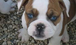 We have awesome olde English bulldogs mix 100% English bulldog this puppy's they are 8 weeks old also come full CKC register and 1st set of shots and De-wormed we have all diferent colors and boys and girls some puppy's have BLUE EYES if u interest please