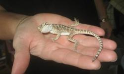 Baby Bearded Dragon-Approximately 5-6 inches in length/ Comes with a 10 gallon tank. $75.00 for more info call or text --.