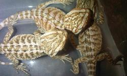 baby bearded dragons. Hatched aug 15th both parents orange contact me via cell 951-258-4251
