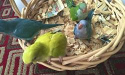 GREEN baby quaker: $160 Each. ($20 discount if you buy two) BLUE baby quaker: $350 Each. I am located in South Austin, TX Pick up ONLY! Contact info: 512-333-2319. (Text preferred but you can also call me) I have baby Quaker parrots available for