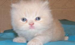 We are selling two Red / Cream colored male teacup Persian kittens for $800 each. These kittens are raised between kids and other cats, so they are very social with people and other animals. Included in the cost of our CFA registered kittens is: CFA