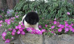 Hi! I am Bailey, the black and white male AKC Newfoundland. I am sure to bring tons of joy to any home. I was born on June 6, 2016. I will come up to date on shots and worming. They are asking $1199.00 for me. Do you think I am the little one for