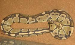 This ball python is 3 1/2 to 4 feet long. Very good eater. For more info call or text 317-480-0419.