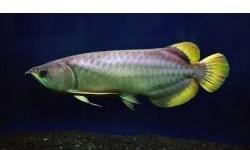 Asian Arowana fishes of many kinds and other aquariums fishes available for promotional prices, our arowanas and other aquariums arequality guaranteed and are very healthy.They are delivered alongside Cites and Legalpermits. We have arowanas and aquariums