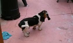 Adorable lovable Pure Breed male Basset Hound Puppy. 11 Months old with papers. Serious Inquiries only please. (Black, white, & tan).