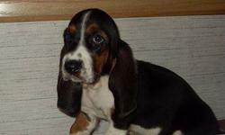 1 Male Basset Hound born on 5-23-11. UTD on shots and comes with a health warranty. *?* Credit Cards Accepted (Visa/MasterCard???) ** Financing Available (Please Inquire) ** Shipping Available ** Microchipped ? ** ACA Registered For More Info Call/Text: