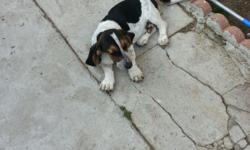 I have two male basset hound puppys. they are pure breeds.mom and dad on property. They are looking for a good home. They have there shots and de wormed.Make me an offer.