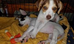 Sweet little boy and girl puppies. Mom is beagle/terrier, dad is chihuahua. Born May 21st. Little boy is white with brown markings and greenish eyes. Little girl is white with brown and black markings with black eyes. Well socialized in my home around my