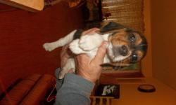 adorable beagle puppy first shots and wormed and paper and crate trained he will not last long.very playful