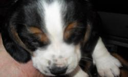 I have beagle puppies for sale, these dogs are around kids, other dogs and cats daily. almost housebroken, not quite there yet.