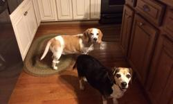 I have two beagles both female spayed 9-10 years old tricolor one 5 years old brown and tan not spayed. would like them to go together with a fenced in yard. I have no time since divorced for them. They are not hunting dogs and are very lovable.