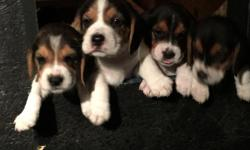 * A.K.C. registered beagles, born 5/1/2016, 13 inch when grown, is an excellent house pets or great for hunting.Good blood line and very playful ,good with children shots and Deworm.1male and 5 females. GOING FAST -Ready for a good home.Free food and