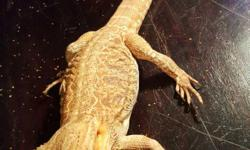 1 1/2 year old male bearded dragon, fancy 20 gallon long tank Night and day lights, both domes and bulbs included Humidity and temperature gauges Desert decor and background Food and water bowls Scooper Food Will include table as well if wanted Text