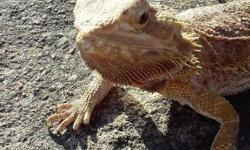 Looking to sell my beardie she's like 3-3 1/2 years old. Since we had our daughter we dont have time to take her out like we used to and she really needs someone th a can love her and actually spend time with her.