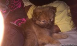 I Have A Male Pomeranian, 10 Week Old , Pure Bred . I Named Him Simba , He Is Tan And Black . Pictures Upon Request . Price Is Firm !