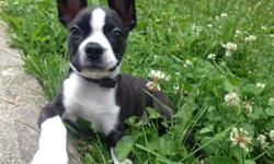 Bowie is an 11 week old puppy that is sweet, loving, adventurous, and a total cuddle buddy. I thought I was ready to take on a puppy, but I also have a toddler. The two together are just too much for me between school and work. I would love to keep him,