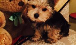 Beautiful Yorkie purebred puppy! 12 weeks old. Exremely smart, raised in my home, loveable and adorable. $1000 Call 4065297726 or email speer77@gmail.com
