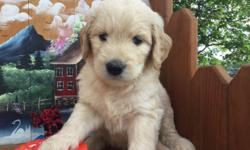 We are very pleased to share these Golden Retriever puppies with you.Super temperaments, excellent health history.Pups are family raised and loved,we want only the best forever homes for these precious puppies.There are 2 females and 2 males.Born