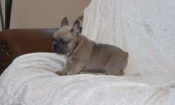 Handsome AKC Cream French bulldog male & female.Large bully head,short back,muscular body.Sire wt 22 lbs,dam wt 18lbs.All pups are raised in our home with lots of TLC.Pups come with a written 1 yr Heath guarantee,vet check,puppy pack,UTD on worming and