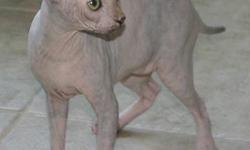 We have very lovable & playful female hairless sphynx kittens that are ready to go now. They have their vaccinations up to date, have been de-wormed and come with a written health guarantee. All kittens are also litter box trained. They are around
