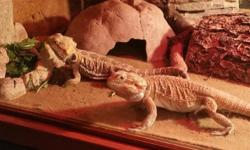 """One """"lemon"""" bearded dragon and one """"sunburst"""" bearded dragon with beautiful custom habitat (5ftx2ftx2ft) and healthy breeding colony of Dubai roaches for feeding. Both dragons are female and are extremely healthy. They are very socialized as"""