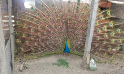 4 beautiful peacocks for sale, looking for a loving home, make great pets $130.00 O.B.O. each Please feel free to contact me at any time 310-808-7523. Need to sale them A.S.A.P