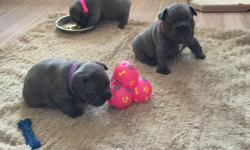 A beautiful litter of self whelped chunky KC reg blue french bulldogs available. 3 girls and 2 boys. Both parents are solid blue with no brindle. Puppies have been raised in a family environment and are being fed on a high quality puppy food 2 girls and 1