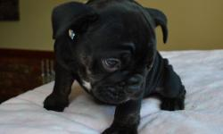 Beautiful bulldog puppy /1st and 2nd vaccination/micro chip/health record/pedigree papers/fish4dogs puppy pack/viewing welcome.